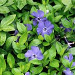 Beautify Shady Outdoor Locations with Flowering Vinca Plants