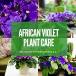 How To Grow and Care for African Violet Plant