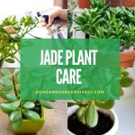 Jade Plant: How To Grow and Care for Jade Plants