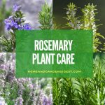 How To Grow and Care for Rosemary Plant