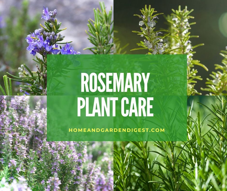 Rosemary Plant How To Plant Grow And Care For Rosemary Plants