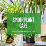 How To Grow and Care for Spider Plant