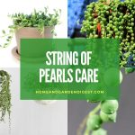 How To Grow and Care for String of Pearls Plant