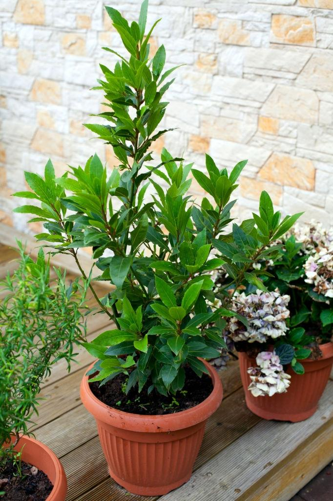 Bay leaves - Plants that repel roaches