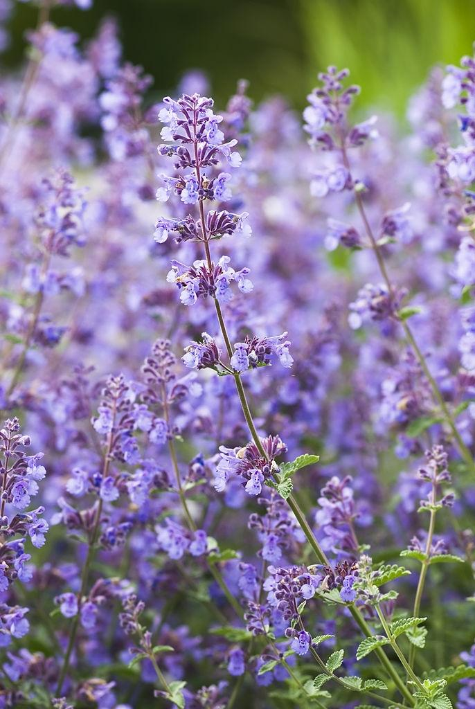 Catnip catmint plants - Plants that repel roaches