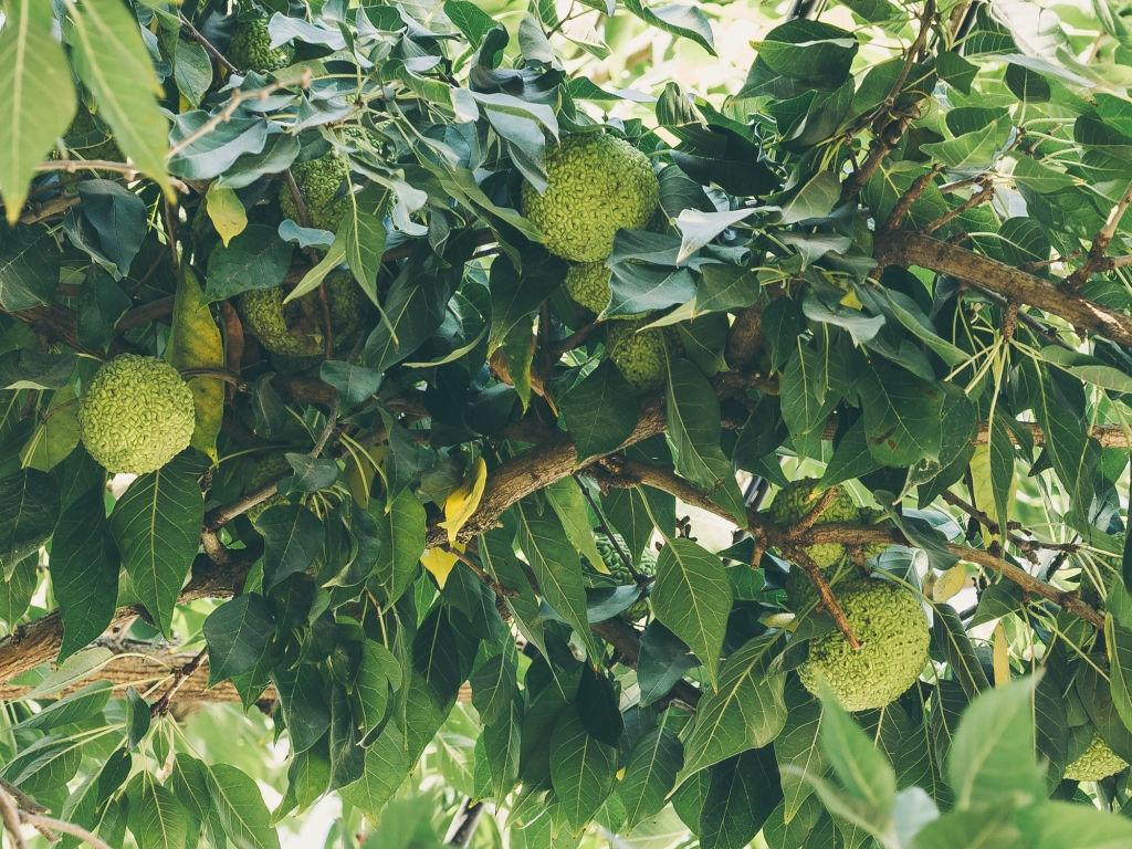 Osage orange trees - Plants that repel roaches