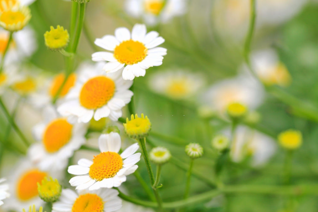 Pyrethrum flowers - Plants that repel roaches