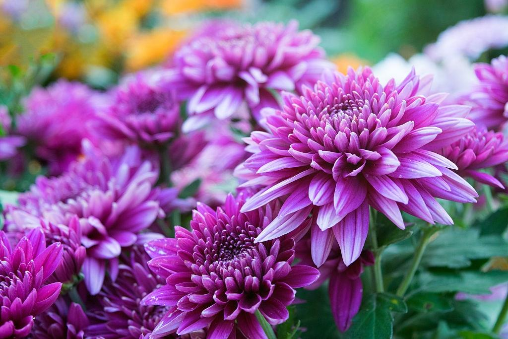 Chrysanthemum flowers - Plants that repel roaches