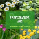 Top plants that repel ants