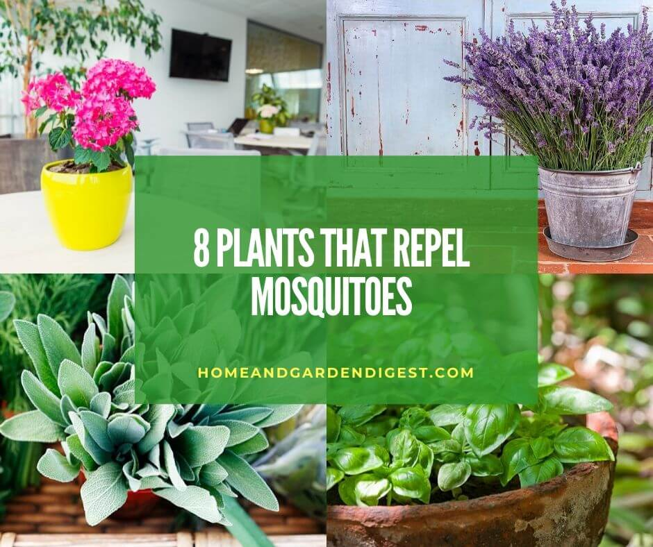 8 Best Plants That Repel Mosquitoes Home And Garden Digest