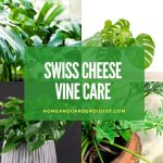 How To Grow and Care for Swiss Cheese Vine Plant