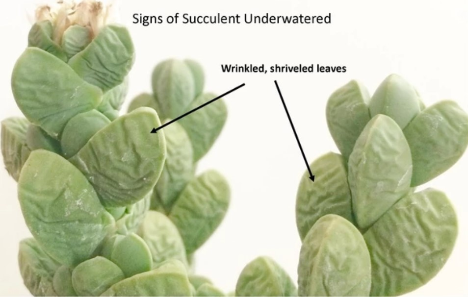 Signs of succulent underwatered