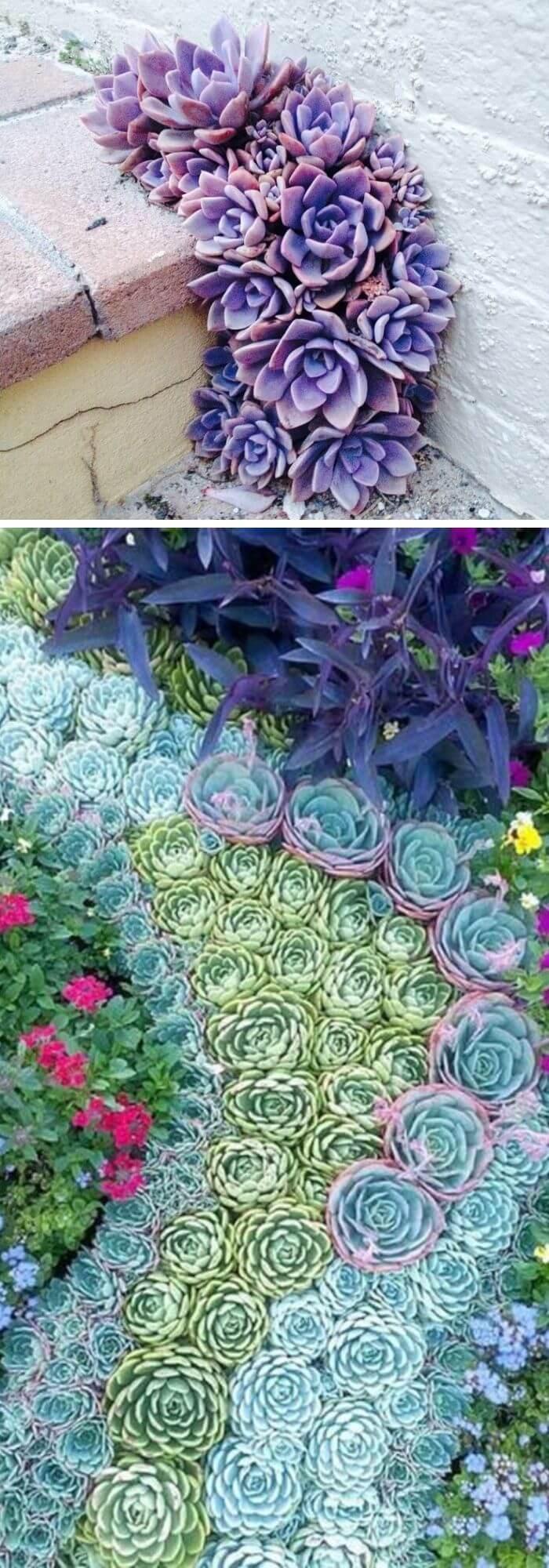 Purple Pavement Succulents
