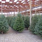 How to Pick and Care for Real Christmas Trees