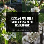 Cleveland Pear Tree: a Great Alternative for Bradford Pear