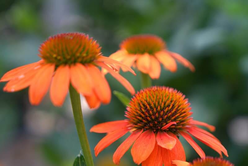 Orange Coneflower (Rudbeckia fulgida)
