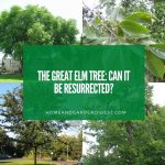 The Great Elm Tree: Can It be Resurrected?