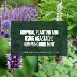 Growing, Planting and Using Agastache Hummingbird Mint
