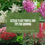 Astilbe Plant Profile and Tips for Growing: Brighten Shady Garden Corners with Flowering Perennial A...