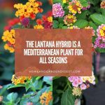 The Lantana Hybrid is a Mediterranean Plant for all Seasons