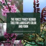 The Forest Pansy Redbud Tree for Landscape Color and Form
