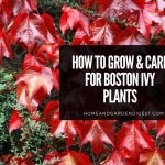 Boston Ivy Plants: Growing and Caring Tips