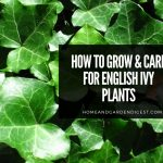 English Ivy Plants: Growing and Caring Tips