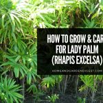 Lady Palm (Rhapis excelsa): Growing Tips and Care