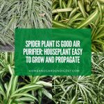 Spider Plant is Good Air Purifier: Houseplant Easy to Grow and Propagate
