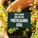 How To Grow and Care For Portulacaria Afra (Elephant Bush)
