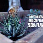 Haworthia Fasciata (Zebra Plant, Zebra Haworthia) Care