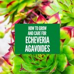 How To Grow and Care For Echeveria Agavoides (Lipstick Echeveria)
