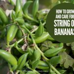 How To Grow and Care For Senecio radicans 'String Of Bananas'