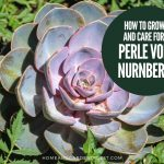How To Grow and Care For Echeveria Perle von Nurnberg