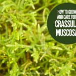 How To Grow and Care For Crassula muscosa 'Watch Chain'