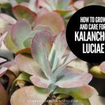 How To Grow and Care for Kalanchoe luciae 'Flapjack'