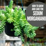 How To Grow and Care For Sedum Morganianum 'Burrito' (Donkey tail)