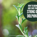 How To Grow and Care For String of Dolphins (Senecio peregrinus)