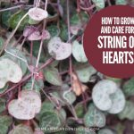 How To Grow and Care For Ceropegia woodii variegata 'String of Hearts'