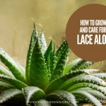 How To Grow and Care For Aristaloe aristata 'Lace Aloe'