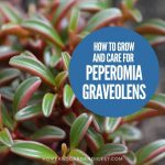 How To Grow and Care For Peperomia Graveolens 'Ruby Glow'