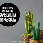 How To Grow and Care For Snake Plant (Sansevieria trifasciata)