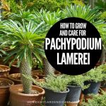 How To Grow and Care for Pachypodium lamerei (Madagascar palm)