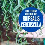 How To Grow and Care For Rhipsalis cereuscula (Coral Cactus)